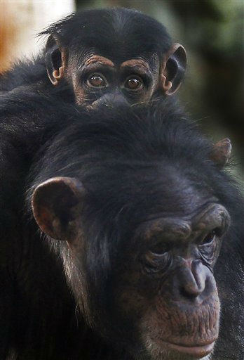 A baby chimpanzee clings to the back of its mother at Nogeyama Zoological Gardens in Yokohama, near Tokyo, Sunday, Oct. 2, 2011. &#40;AP Photo&#47;Itsuo Inouye&#41; <span class=meta>(AP Photo&#47; Itsuo Inouye)</span>