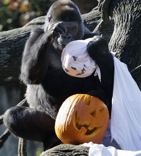 "<div class=""meta ""><span class=""caption-text "">A gorilla looks for treats inside a ghost and Halloween pumpkin, Thursday, Oct. 6, 2011, at the Cincinnati Zoo in Cincinnati. The pumpkins are filled with raisins, cheerios, pastas, and other treats. (AP Photo/Al Behrman) (AP Photo/ Al Behrman)</span></div>"
