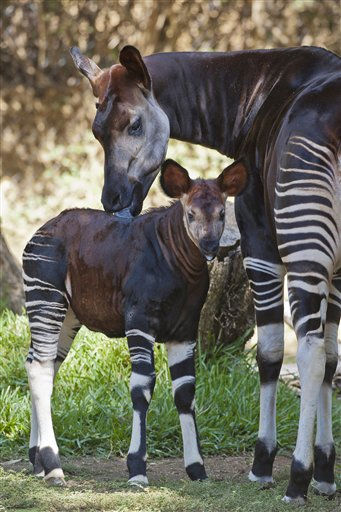 This image provided by the San Diego Zoo shows Makini, an okapi, licking her newborn calf in the Safari Park section of the San Diego Zoo Friday Oct. 7, 2011 in San Diego. Makini gave birth on Sept. 4, 2011, to the 37th okapi born at the zoo and the first female born in 11 years. Okapis are the only living relative of the giraffe and have similar large, upright ears and a prehensile tongue that helps them strip leaves from trees in their native habitat of the Ituri Forest in Central Africa. &#40;AP Photo&#47;San Diego Zoo, Keh Bohn&#41; <span class=meta>(AP Photo&#47; Ken Bohn)</span>
