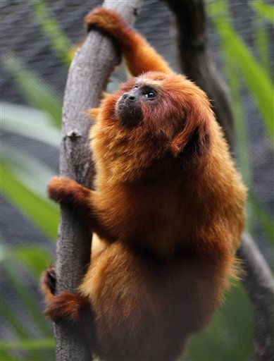 A Golden Lion Tamarin sits in a tree in his habitat at the Montgomery Zoo in Montgomery, Ala., Tuesday, Oct. 11, 2011. &#40;AP Photo&#47;Dave Martin&#41; <span class=meta>(AP Photo&#47; Dave Martin)</span>