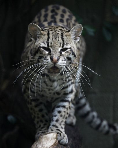 An Ocelot patrols his habitat at the Montgomery Zoo in Montgomery, Ala., Tuesday, Oct. 11, 2011. &#40;AP Photo&#47;Dave Martin&#41; <span class=meta>(AP Photo&#47; Dave Martin)</span>