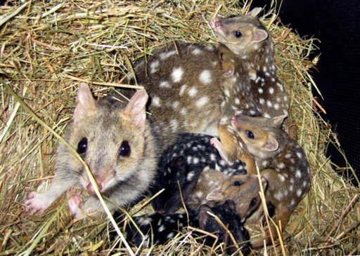 Achtung Redaktionen: Bild nur zur redaktionellen Berichterstattung und bei Nennung &#34;Zoo Leipzig&#34; &#43;&#43;&#43; Australische Tuepfelbeutelmarder &#40;Quolls&#41; im Zoo in Leipzig zusammen mit der Mutter, aufgenommen am Mittwoch &#40;12.10.11&#41;. Mit dieser herausragenden zoologischen Zuchtleistung ruehmt sich der Leipziger Zoo, denn dort wurden sechs australische Tuepfelbeutelmarder geboren. Der Zoo habe die nur noch in Tasmanien in freier Wildbahn lebenden Tiere erstmals seit mehr als 35 Jahren erfolgreich in Europa gezuechtet, teilte der Tierpark am Donnerstag &#40;20.10.11&#41; mit. Eigenen Angaben zufolge hat der Zoo weltweit die einzigen Quolls ausserhalb Australiens in seinem Bestand. Um die Aufzucht der Jungtiere nicht zu stoeren, werde die Mutter mit den Kleinen momentan noch in einem fuer Besucher nicht einsehbaren Bereich gehalten, hiess es. &#40;zu dapd-Text&#41; Foto: Zoo Leipzig&#47;dapd <span class=meta>(Photo&#47;Zoo Leipzig)</span>