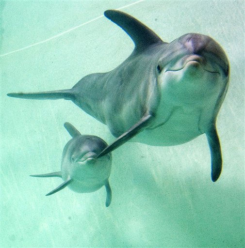 New born dolphin named Doerrte swims with its mother Delphi at the zoo in Duisburg, Germany, Monday, Oct. 17, 2011. The little bottlenose dolphin is one of three dolphin babies, that were born for the first time almost at the same time last month at the zoo in the Ruhr valley. Mother Delphi was also born in Europe&#39;s biggest dolphinarium in Duisburg. &#40;AP Photo&#47;Martin Meissner&#41; <span class=meta>(AP Photo&#47; Martin Meissner)</span>