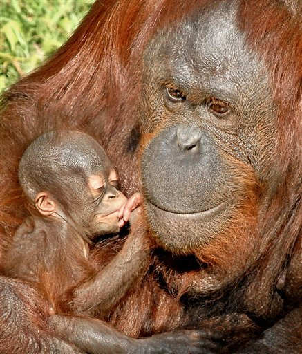 "<div class=""meta ""><span class=""caption-text "">In this photo released by the Los Angeles Zoo on Thur. Oct. 20,2011 showing an unnamed newly born Bornean orangutan held by her mother Kalim at their zoo enclosure. This is the second baby for the Zoo?s female born on Sept. 19,2011.  She is one of four adult females in the Red Ape Rainforest. (AP Photo/Tad Motoyami/Los Angeles Zoo) (AP Photo/ Tad Motoyami)</span></div>"