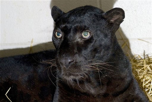 This is a handout photo from the Columbus Zoo and Aquarium of a black leopard,  one of three leopards that were captured by authorities Wednesday, a day after their owner released dozens of wild animals and then killed himself near Zanesville, Ohio.  Sheriff&#39;s deputies shot and killed 48 of the animals, including 18 rare Bengal tigers, 17 lions, six black bears, two grizzly bears, a baboon, a wolf and three mountain lions. Six of the released animals - three leopards, a bear and two monkeys - were captured and taken to the Columbus Zoo.  &#40;AP Photo&#47;HO-Columbus Zoo and Aquarium&#47;Grahm  S. Jones&#41; <span class=meta>(AP Photo&#47; Grahm S. Jones)</span>