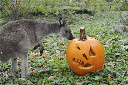 In this photo taken Oct. 20, 2011 provided by the Chicago Zoological Society, a kangaroo checks out a pumpkin as part of an enrichment program at Brookfield Zoo in Brookfield, Ill., in preparation for the zoo?s weekend Halloween events, ?Creatures of the Night? and ?Boo! at the Zoo.? &#40;AP Photo&#47;Chicago Zoological Society, Jim Schulz&#41; <span class=meta>(AP Photo&#47; Jim Schulz)</span>