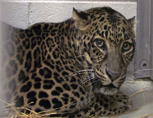 "<div class=""meta ""><span class=""caption-text "">FILE-  This file photo was previously provided by the Columbus Zoo and Aquarium and shows one of three leopards that were captured by authorities last month, a day after their owner released dozens of wild animals and then killed himself near Zanesville, Ohio.  Sheriff's deputies shot and killed 48 of the animals, including 18 rare Bengal tigers, 17 lions, six black bears, two grizzly bears, a baboon, a wolf and three mountain lions. Six of the released animals - three leopards, a bear and two monkeys - were captured and taken to the Columbus Zoo. Now, The widow of an Ohio man who released the animals at his farm before killing himself is appealing the state's quarantine of the six surviving creatures. (AP Photo/File-Columbus Zoo and Aquarium, Grahm S. Jones) (AP Photo/ Grahm Jones)</span></div>"