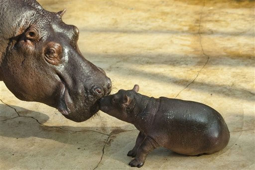 A hippo cub touches its mother Nicole during the first public presentation at the Zoo in Berlin, Tuesday, Nov. 1, 2011. The cub which is yet unnamed was born on Oct. 23, 2011 at the zoo. &#40;AP Photo&#47;Markus Schreiber&#41; <span class=meta>(AP Photo&#47; Markus Schreiber)</span>