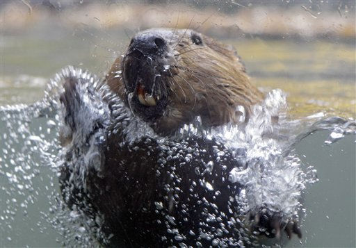 A beaver splashes against the glass of its enclosure at visitors to the Northern Trek exhibit at the Cleveland Metroparks Zoo Wednesday, Nov. 2, 2011. &#40;AP Photo&#47;Mark Duncan&#41; <span class=meta>(AP Photo&#47; Mark Duncan)</span>