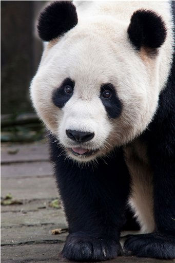 This undated photo issued Monday Nov. 28, 2011, showing the giant panda Yang Guang, in Sichuan Province, China.  Following months of global anticipation and excitement, the arrival date for Scotland?s first pair of breeding giant pandas has been confirmed as Sunday, Dec. 4, 2011.  Tian Tian and Yang Guang are set to arrive in Edinburgh Zoo from the Giant Panda Conservation and Research Centre in Sichuan Province, China. The announcement follows a successful visit to Scotland?s capital in October by the China Wildlife Conservation Association &#40;CWCA&#41;,  which has now given the final go-ahead for the pandas? scheduled 10-year residence in Scotland. &#40;AP Photo&#47; David Fu, The Royal Zoological Society of Scotland&#41; EDITORIAL USE ONLY <span class=meta>(AP Photo&#47; David Fu)</span>