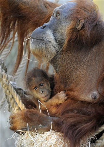 New born orang-utan  Awang seeks shelter in the arms of  his mother Farida at the tropical world at the zoo in Gelsenkirchen, Germany, Tuesday, Nov. 15, 2011. The name Awang is Malay and means &#34;first son&#34;. &#40;AP Photo&#47;Martin Meissner&#41; <span class=meta>(AP Photo&#47; Martin Meissner)</span>