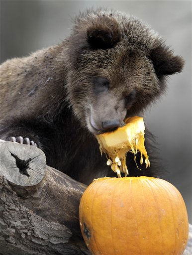 One of the Cleveland Metroparks Zoo&#39;s four 11-month-old grizzly bear cubs enjoys a pumpkin for a snack at the Zoo in Cleveland on Tuesday, Nov. 22, 2011.  Besides providing the animals with enrichment, the pumpkins are a preview to the treats many of the animals will receive this coming Thursday, which is Thanksgiving Day.  The Zoo is open and free to the public on Thanksgiving Day as well. &#40;AP Photo&#47;Amy Sancetta&#41; <span class=meta>(AP Photo&#47; Amy Sancetta)</span>