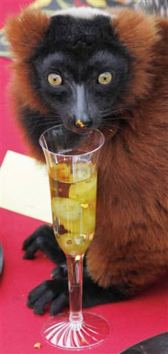 In this photo released by the San Francisco Zoo, a lemur enjoys a Thanksgiving drink of apple juice with grapes during a holiday feast at the San Francisco Zoo, Wednesday, Nov. 23, 2011, in San Francisco. The feast consisted of green beans, a fruit salad of apples, bananas, and grapes, sweet potatoes, a turkey made out of monkey chow and apple juice with grapes in champagne flutes. &#40;AP Photo&#47;San Francisco Zoo, George Nikitin&#41; <span class=meta>(AP Photo&#47; George Nikitin)</span>