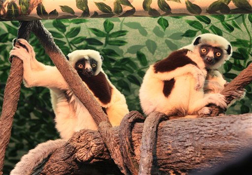 A pair of Sifaka lemurs perch in a display at the Cincinnati Zoo, Thursday, Dec. 1, 2011, in Cincinnati. The seven-year-old male came from the Los Angeles Zoo, and the five-year-old female came from the Duke Lemur Center in North Carolina. The pair that is recommended to breed and are the first Sifaka&#39;s to be displayed at the Cincinnati Zoo. &#40;AP Photo&#47;Al Behrman&#41; <span class=meta>(AP Photo&#47; Al Behrman)</span>