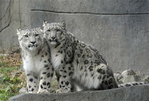 This photo taken Dec. 5, 2011, and provided by the Chicago Zoological Society, shows snow leopards Sarani, left, and Sabu in their outdoor habitat at The Fragile Kingdom at Brookfield Zoo in Brookfield, Ill. The zoo announced the additions of the two young snow leopards just in time for the holiday season. Sarani is a 1-year-old female, is from Tautphaus Park Zoo in Idaho Falls, Idaho. Her new mate, Sabu, is a 1 1&#47;2-year-old from Cape May County Park Zoo in New Jersey. &#40;AP Photo&#47;Chicago Zoological Society, Jim Schulz&#41; <span class=meta>(AP Photo&#47; Jim Schulz)</span>