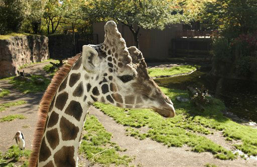 In this undated photo provided by the Oregon Zoo, shows Akeem the male reticulated giraffe at the Oregon Zoo, in Portland, Ore. Veterinarians at the Oregon Zoo euthanized an aging giraffe to end his suffering. Akeem was found lying still Saturday in the giraffe barn, and keepers could do nothing to help him. KGW reports they believe he succumbed to old age. He was 25. In the wild giraffes live 15 to 20 years. Akeem means &#34;great one&#34; in Swahili. He stood 18 feet tall and weighed 2,200 pounds. He sired three calves over the years in the zoo&#39;s Africa Savanna exhibit. &#40;AP Photo&#47;Oregon Zoo, Michael Durham&#41; <span class=meta>(AP Photo&#47; Michael Durham)</span>