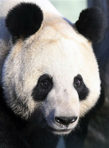 Giant panda named Tian Tian, explores her enclosure at Edinburgh Zoo in Edinburgh, Scotland Monday, Dec 12, 2011. Two 8-year-old giant pandas from China landed Sunday Dec. 4, 2011 in Scotland, where they will become the first to live in Britain in nearly two decades. The pandas, from the southwestern Chinese province of Sichuan, are to stay for 10 years at Edinburgh Zoo, where officials hope they will give birth to cubs.  The loan marked the beginning of a U.K.-China research program on the animals, and both sides have described it as a signal of a growing friendship between Scotland and China. &#40;AP Photo&#47;Scott Heppell&#41; <span class=meta>(AP Photo&#47; SCOTT HEPPELL)</span>