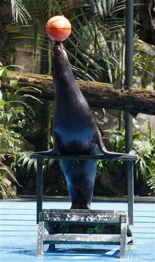 "<div class=""meta image-caption""><div class=""origin-logo origin-image ""><span></span></div><span class=""caption-text"">A sea lion balances a basketball during a show at National Zoo in Kuala Lumpur, Malaysia, Thursday, Dec. 15, 2011. (AP Photo/Lai Seng Sin) (AP Photo/ Lai Seng Sin)</span></div>"