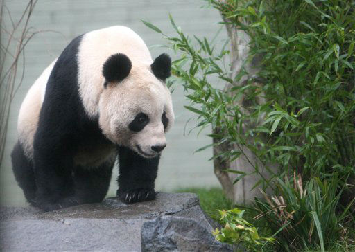 Giant panda named Tian Tian, explores her enclosure as the public look on for the first time at Edinburgh Zoo in Edinburgh, Scotland Friday, Dec 16, 2011. Two 8-year-old giant pandas from China landed Sunday Dec. 4, 2011 in Scotland, where they will become the first to live in Britain in nearly two decades. The pandas, from the southwestern Chinese province of Sichuan, are to stay for 10 years at Edinburgh Zoo, where officials hope they will give birth to cubs. The loan marked the beginning of a U.K.-China research program on the animals, and both sides have described it as a signal of a growing friendship between Scotland and China. &#40;AP Photo&#47;Scott Heppell&#41; <span class=meta>(AP Photo&#47; SCOTT HEPPELL)</span>