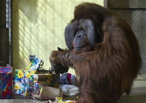 Orangutan Buschi unpacks parcels he received for his 40th birthday in the zoo of Osnabrueck, Germany, Wednesday, Dec. 21, 2011. &#40;AP Photo&#47;dapd, Joerg Sarbach&#41; <span class=meta>(AP Photo&#47; Joerg Sarbach)</span>