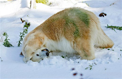 In this photo provided by the San Francisco Zoo, Ulu, a 30 year-old female polar bear enjoys fresh snow courtesy of the San Francisco Ice Company on Wednesday, Dec. 21, 2011 at the San Francisco Zoo in San Francisco.  &#40;AP Photo&#47;San Francisco Zoo, Marianne Hale&#41; <span class=meta>(AP Photo&#47; Marianne Hale)</span>