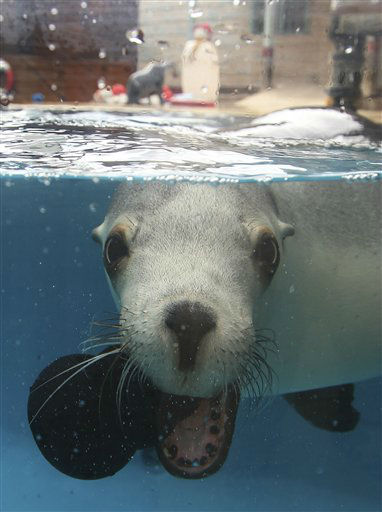 A seal plays with a new toy it found amongst treats left around a make shift snowman, center back,  during festive celebrations at Taronga Zoo in Sydney, Australia, Wednesday, Dec. 21, 2011. &#40;AP Photo&#47;Rob Griffith&#41; <span class=meta>(AP Photo&#47; Rob Griffith)</span>
