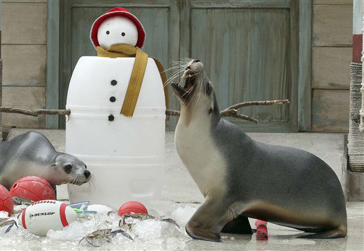 Seals sift through snow to find Christmas treat amongst toys placed at the bottom of a snowman during festive celebrations at Taronga Zoo in Sydney, Australia, Wednesday, Dec. 21, 2011. &#40;AP Photo&#47;Rob Griffith&#41; <span class=meta>(AP Photo&#47; Rob Griffith)</span>