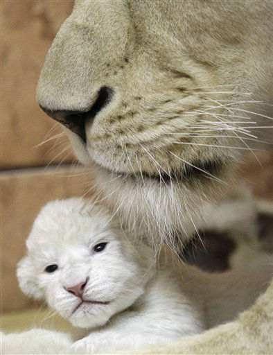 A two-day-old white lion cub playing with its mother Sumba, in Belgrade Zoo, Serbia, Thursday, Dec. 22, 2011.  The four white lions cubs, an extremely rare subspecies of the African lion were recently born in Belgrade Zoo. White lions are unique to the Timbavati area of South Africa and are not albinos but a genetic rarity. &#40;AP Photo&#47;Darko Vojinovic&#41; <span class=meta>(AP Photo&#47; Darko Vojinovic)</span>