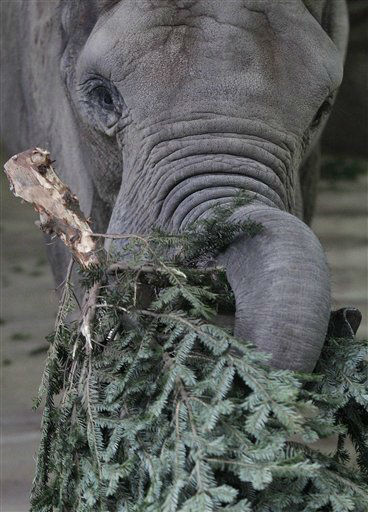 An elephant eats a Christmas Tree at the Zoo, Thursday, Dec. 29, 2011 in Wuppertal, Germany. Animals at the zoo like the change in their food and enjoy the time after Christmas.  &#40;AP Photo&#47;Frank Augstein&#41; <span class=meta>(AP Photo&#47; Frank Augstein)</span>