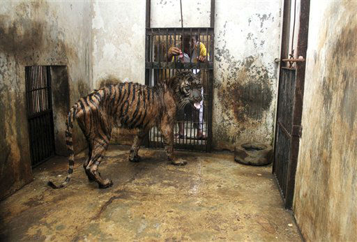 In this Monday, April 15, 2013 photo, a keeper tries to feed Melanie, a 15-year-old female Sumatran tiger that has been suffering from digestive disorder for five years, in her cage at Surabaya Zoo in Surabaya, Indonesia. An official says Melanie is in critical condition at Indonesia&#39;s largest and problem-plagued zoo and may have to be euthanized due to slim chance to save her.  &#40;AP Photo&#41; <span class=meta>(AP Photo&#47; Uncredited)</span>