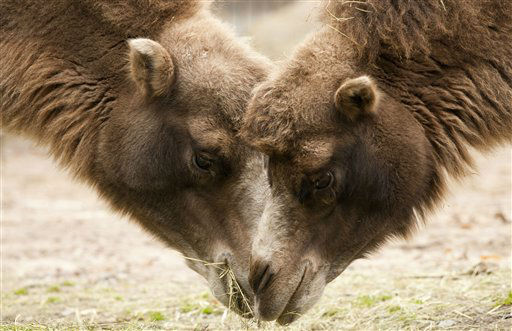 Camels having feed  during the World Animal Day on Thursday  Oct. 4, 2012 in Korkeasaari Zoo in Helsinki, Finland. &#40;AP Photo&#47;LEHTIKUVA &#47; Jarno Mela&#41; FINLAND OUT <span class=meta>(AP Photo&#47; Jarno Mela)</span>