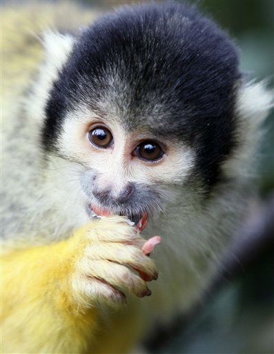 A squirrel monkey eats as he is counted at London Zoo in London, Wednesday, Jan. 4, 2012. The annual count took place at the zoo Wednesday as keepers individually counted every animal and species at the zoo. The compulsory count is required as part of London Zoo&#39;s license. &#40;AP Photo&#47;Kirsty Wigglesworth&#41; <span class=meta>(AP Photo&#47; Kirsty Wigglesworth)</span>