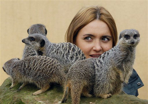 Keeper Caroline Westlake counts the Meerkats at London Zoo in London, Wednesday, Jan. 4, 2012. The annual count took place at the zoo Wednesday as keepers individually counted every animal and species at the zoo. The compulsory count is required as part of London Zoo&#39;s license. &#40;AP Photo&#47;Kirsty Wigglesworth&#41; <span class=meta>(AP Photo&#47; Kirsty Wigglesworth)</span>