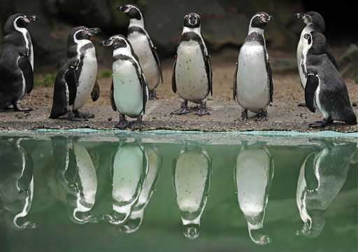Penguins are reflected in the water at the zoo in Dortmund, western Germany, Monday, Jan. 9, 2012.  &#40;AP Photo&#47;Martin Meissner&#41; <span class=meta>(AP Photo&#47; Martin Meissner)</span>