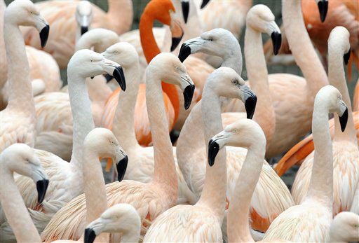 "<div class=""meta ""><span class=""caption-text "">Flamingos warm each others on a winters day at the zoo in Dortmund, western Germany, Monday, Jan. 9, 2012. (AP Photo/Martin Meissner) (AP Photo/ Martin Meissner)</span></div>"
