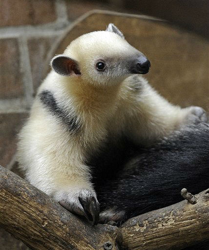 A two month old small anteater climbs on its mother&#39;s back at the zoo in Dortmund, western Germany, Monday, Jan. 9, 2012. &#40;AP Photo&#47;Martin Meissner&#41; <span class=meta>(AP Photo&#47; Martin Meissner)</span>