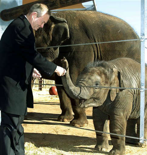 Oklahoma City Mayor Mick Cornett feeds celery to Malee, a nine month old Asian elephant at the Oklahoma City Zoo in Oklahoma City, Thursday, Jan. 12, 2012. Cornett chose the elephant exhibit at the zoo to announce that Oklahoma City area residents have met his goal of losing a combined 1 million pounds as part of his effort to improve fitness in the city. Cornett said that the average elephant weighs about 10,000 pounds, and that Oklahoma City residents have lost the equivalent of 100 elephants. &#40;AP Photo&#47;Sue Ogrocki&#41; <span class=meta>(AP Photo&#47; Sue Ogrocki)</span>