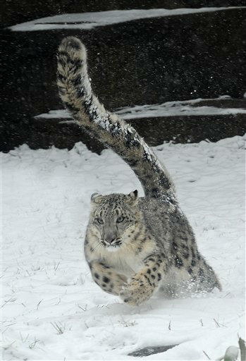 "<div class=""meta ""><span class=""caption-text "">This photo provided by the Chicago Zoological Society shows, Sarani, a 1-year-old female snow leopard enjoying the snow around their outdoor habitat at the Brookfield Zoo, Thursday, Jan. 12, 2012 in Brookfield, Ill. The first snow of the season provided the animals a much different environment than the sunny conditions and temperatures in the 50's they experienced earlier in the week. (AP Photo/Chicago Zoological Society, Jim Schulz) (AP Photo/ Jim Schulz)</span></div>"