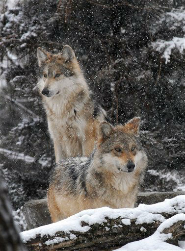 This photo provided by the Chicago Zoological Society shows, a pair of Mexican gray wolves enjoying the snow around their outdoor habitat at the Brookfield Zoo, Thursday, Jan. 12, 2012 in Brookfield, Ill. The first snow of the season provided the animals a much different environment than the sunny conditions and temperatures in the 50&#39;s they experienced earlier in the week. &#40;AP Photo&#47;Chicago Zoological Society, Jim Schulz&#41; <span class=meta>(AP Photo&#47; Jim Schulz)</span>