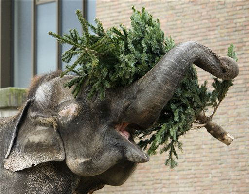 An Asian elephant battles with a Christmas tree at the zoo in Berlin, Germany, Friday, Jan. 13, 2012. Traditionally Christmas trees that could not be sold before Christmas are being donated to the zoo. &#40;AP Photo&#47;dapd, Steffi Loos&#41; <span class=meta>(AP Photo&#47; Steffi Loos)</span>