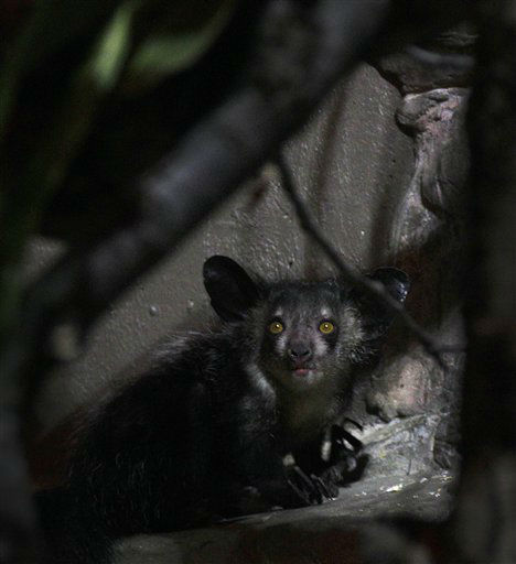 "<div class=""meta ""><span class=""caption-text "">An Aye-Aye explores its enclosure for the first time while being introduced at the Cleveland Metroparks Zoo in Cleveland on Tuesday,  Jan. 17, 2012.  Native to Madagascar, the Aye-Aye is a nocturnal primate in the prosimian family. (AP Photo/Amy Sancetta) (AP Photo/ Amy Sancetta)</span></div>"