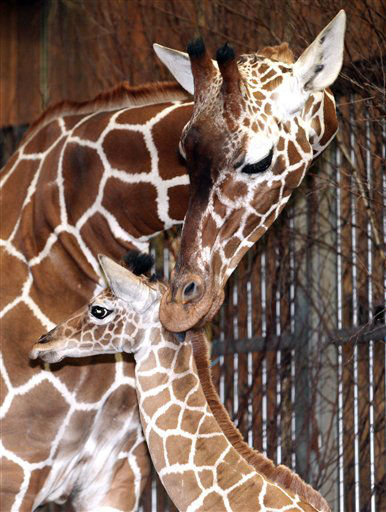 Male giraffe calf Ng&#39;ombe stands in front of his mother Nyiri at the zoo in Cologne, Germany, Friday, Jan. 20, 2012. Ng&#39;ombe was born on Jan. 7, 2012. &#40;AP Photo&#47;dapd, Juergen Schwarz&#41; <span class=meta>(AP Photo&#47; Juergen Schwarz)</span>