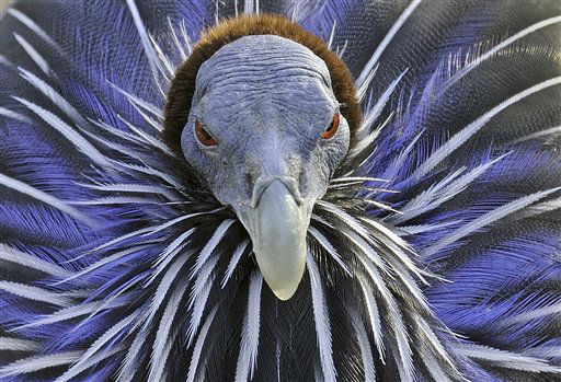 "<div class=""meta ""><span class=""caption-text "">An African guineafowl  at the zoo in Gelsenkirchen, Germany, Wednesday, Jan. 25, 2012. (AP Photo/Martin Meissner) (AP Photo/ Martin Meissner)</span></div>"