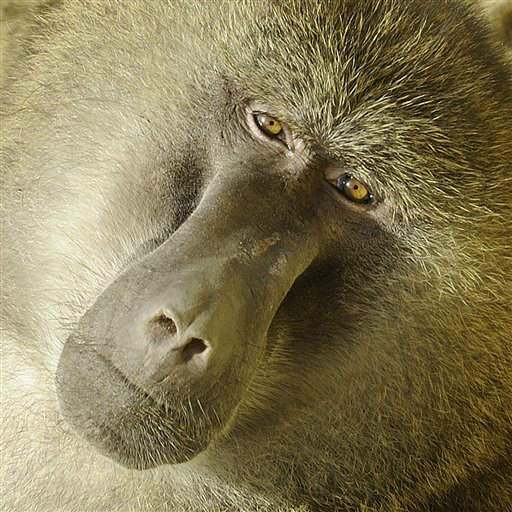 A baboon sits in the sun at the zoo in Gelsenkirchen, Germany, Wednesday, Jan. 25, 2012. &#40;AP Photo&#47;Martin Meissner&#41; <span class=meta>(AP Photo&#47; Martin Meissner)</span>