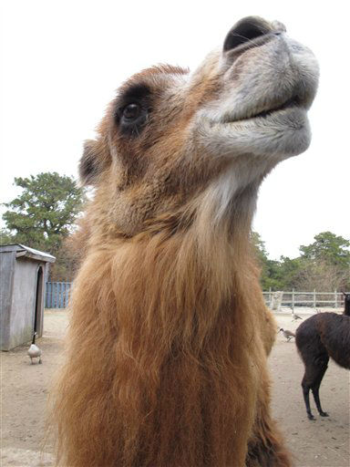 "<div class=""meta image-caption""><div class=""origin-logo origin-image ""><span></span></div><span class=""caption-text"">Princess, a Bactrian camel famous for her ability to correctly predict the winner of football games, at her home in Popcorn Park Zoo in Lacey Township, N.J. on Thursday Jan. 26, 2012, one day after Princess picked the New York Giants to beat the New England Patriots in the Super Bowl. Princess makes her ""picks"" by choosing one of two graham crackers the zoo's general manager holds out to her, with each cracker corresponding to one of the teams involved in the game. She's 88-51 lifetime, and predicted the winners of five of the last six Super Bowls. (AP Photo/Wayne Parry) (AP Photo/ Wayne Parry)</span></div>"