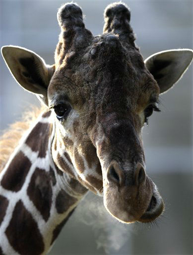 "<div class=""meta ""><span class=""caption-text "">A giraffe stares at photographers and breathes at the Duisburg Zoo on, Friday, Jan. 27, 2012 in Duisburg, Germany.  (AP Photo/Frank Augstein) (AP Photo/ Frank Augstein)</span></div>"