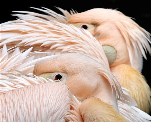 Two pelicans rest in the zoo of Frankfurt, Germany, Friday, Jan. 27, 2012. &#40;AP Photo&#47;Michael Probst&#41; <span class=meta>(AP Photo&#47; Michael Probst)</span>