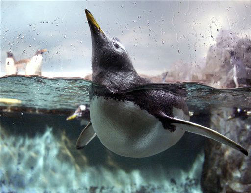 "<div class=""meta ""><span class=""caption-text "">A penguin looks out of the water in a pool in the zoo of Frankfurt, Germany, Friday, Jan. 27, 2012. (AP Photo/Michael Probst) (AP Photo/ Michael Probst)</span></div>"