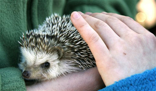 "<div class=""meta image-caption""><div class=""origin-logo origin-image ""><span></span></div><span class=""caption-text"">Jabari, the Oregon Zoo?s African pygmy hedgehog is held during a ground hog day celebration Thursday, Feb. 2, 2012, at the zoo, in Portland, Ore. Jabari did not see his shadow this morning, meaning an early spring could be in store. Or not. Historically, the hedgehog has been used in this centuries-old tradition to predict the onset of spring. Immigrants to North America substituted the groundhog when they found there were no hedgehogs in their new homeland. (AP Photo/Rick Bowmer) (AP Photo/ Rick Bowmer)</span></div>"