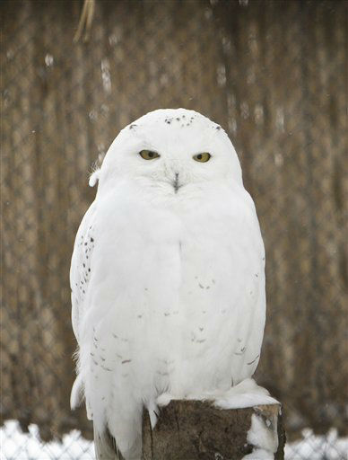 A polar owl stands at the zoo in Bucharest, Romania, Friday, Feb. 3, 2012. Zoo officials are taking special measures to protect animals from the weeklong cold snap, Eastern Europe&#39;s worst in decades, which caused power outages, frozen water pipes and widespread closure of schools, nurseries, airports and bus routes. &#40;AP Photo&#47;Vadim Ghirda&#41; <span class=meta>(AP Photo&#47; Vadim Ghirda)</span>